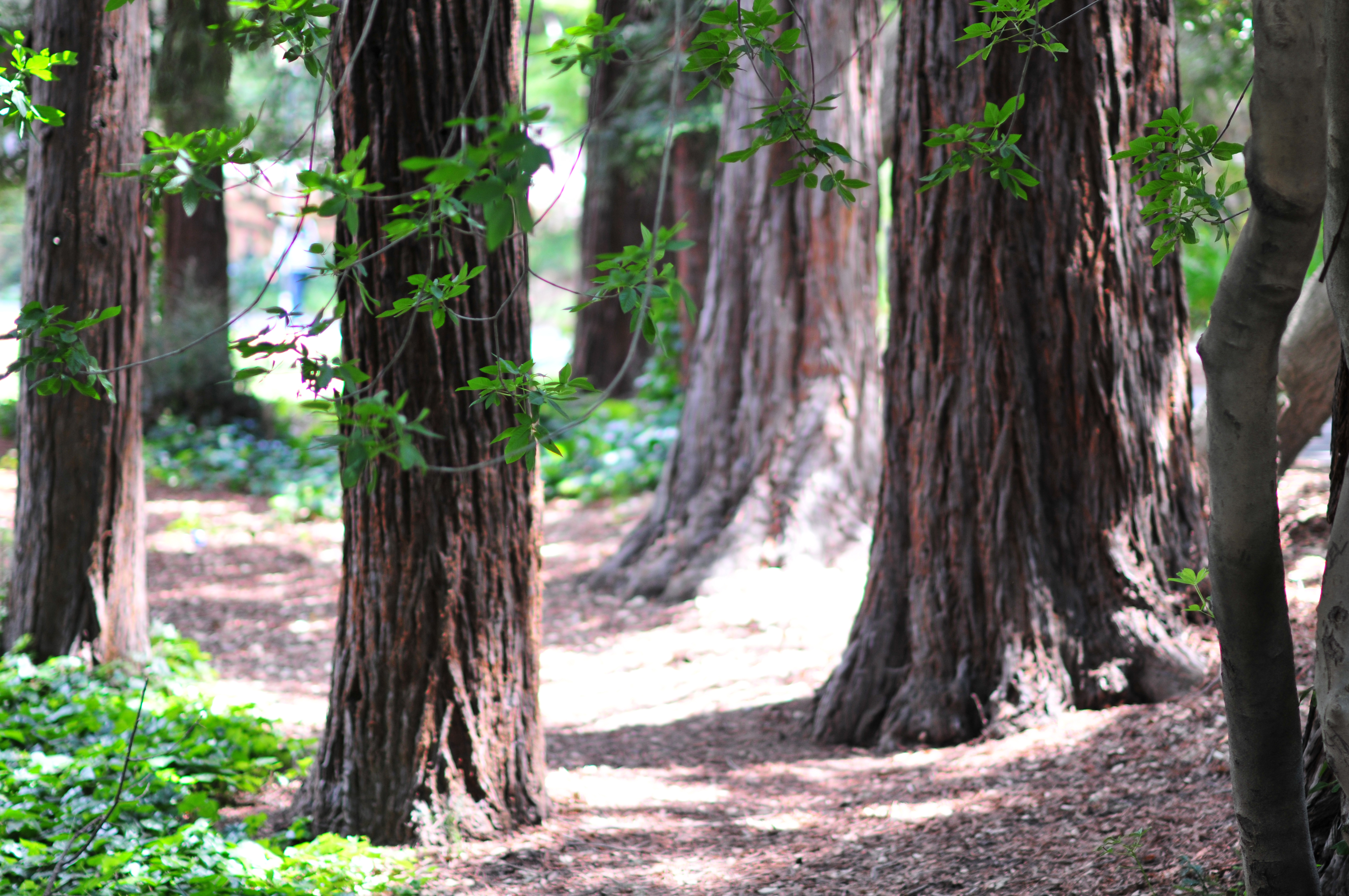 A grove of California Redwood trees on the UC Berkeley campus